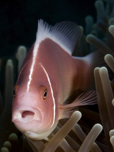 &quot;Pink Anemonefish&quot; by Iyad Suleyman 